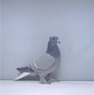 aargauer-weissschwanz-blau-mit-binden-1990