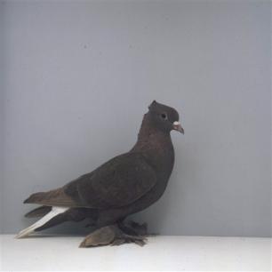 aargauer-weissschwanz-romont-1998