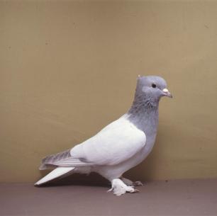 aargauer-weissschwanz-willisau-1982