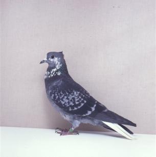 berner-gugger-weissschwanz-langenthal1989-94p