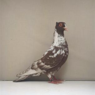 berner-halbschnabler-payern-1997-613-2