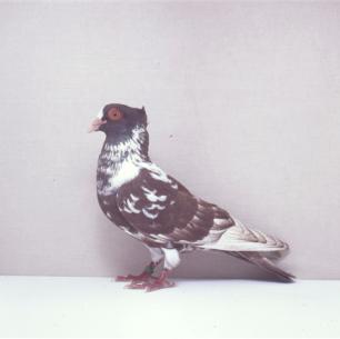 berner-halbschnabler-rot-willisau-1990-649