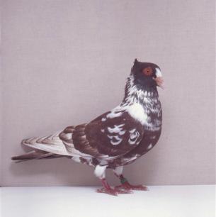 berner-halbschnabler-rot-willisau-1990-96