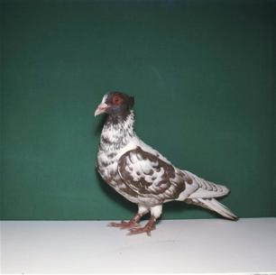 berner-halbschnabler-rot-worben-1981-94