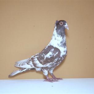 berner-halbschnabler-rot-zurich-1983-519