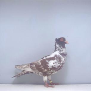 berner-halbschnabler-rot-zofingen-2000-751