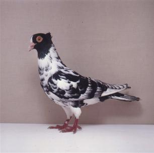 berner-halbschnabler-sempach-1991-k-hauri