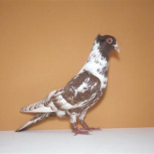 berner-halschnabler-rot-zurich-1983-519