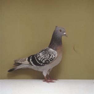 berner-lerche-kant-worb-1993-23-2