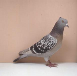 berner-lerche-kant-worb-1993-23