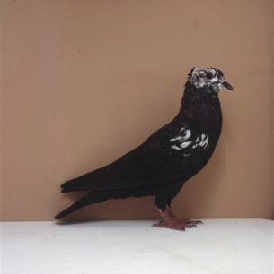 berner-rieselkopf-mit-flankenflugelrosen-kant-worb-1993-75