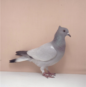 berner-spiegelschwanz-0-1-1994