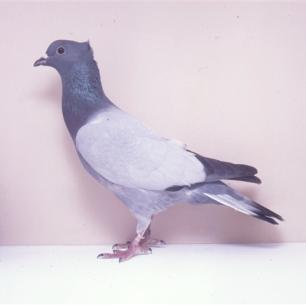 berner-spiegelschwanz-sempach-1991-93