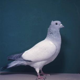 berner-spiegelschwanz-zofingen-1985-171