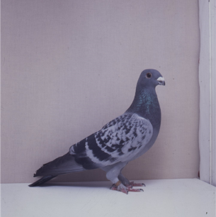 eichbuhler-blau-gehammert-sempach-1991-o-studer