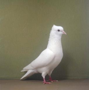 einfarbige-schweizertaube-arbon-2001-37