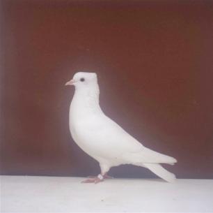 einfarbige-schweizertaube-bern-05-34-1