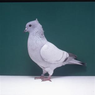 einfarbige-schweizertaube-eisblau-bangerter-18