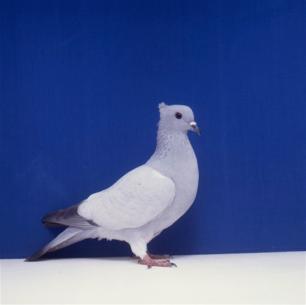 einfarbige-schweizertaube-eisblau-bangerter-3