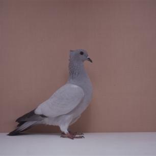 einfarbige-schweizertaube-eisblau-bangerter-4