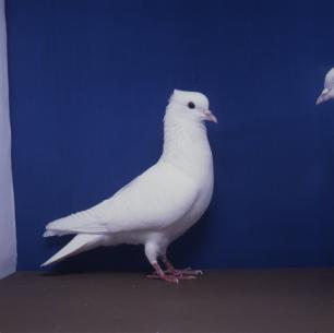 einfarbige-schweizertaube-weiss-frauenfeld-1991-10