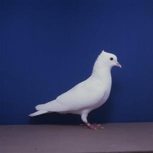 einfarbige-schweizertaube-weiss-willisau-1990-9