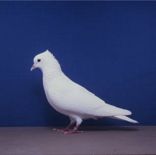 einfarbige-schweizertaube-willisau-1990-9-2