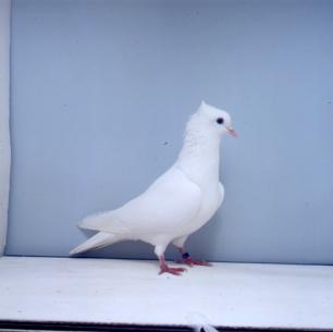 einfarbige-schweizertaube-zofingen-2000-48