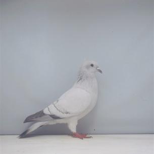 einfarbige-schweizertaube-zofingen-2000-57