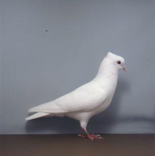 einfaribe-schweizertaube-mels-1995-5