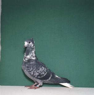 gugger-weissschwanz-zurich-1983-117