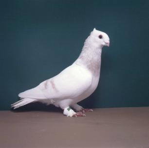 luzerner-elmer-gelb-sempach-1991-101