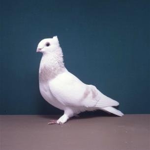 luzerner-elmer-gelb-sempach-1991