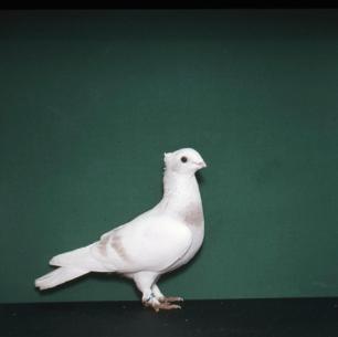 luzerner-elmer-gelb-willisau-1982