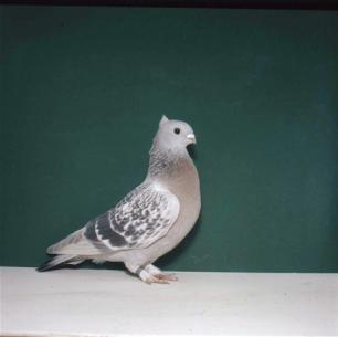 luzerner-goldkragen-gelercht-giubiasco-1984-394