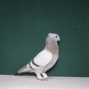 luzerner-goldkragen-giubiasco-1984-389