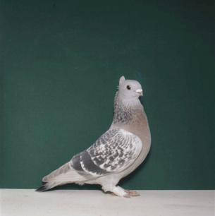 luzerner-goldkragen-giubiasco-1984-394