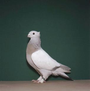 luzerner-goldkragen-o-b-giubiasco-1984-362