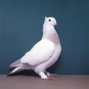 luzerner-goldkragen-sepach-1991-575