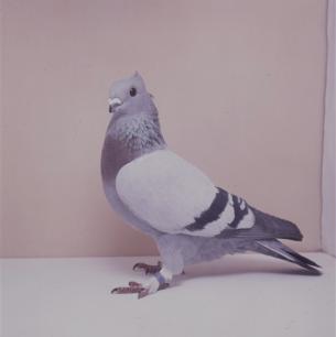 luzerner-kupferkragen-mit-binden-sempach-1991-538-3