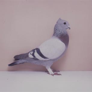 luzerner-kupferkragen-mit-binden-sempach-1991-538