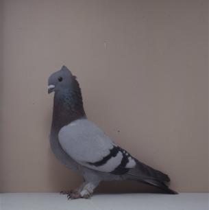 luzerner-kupferkragen-mit-binden-zofingen-1993-450