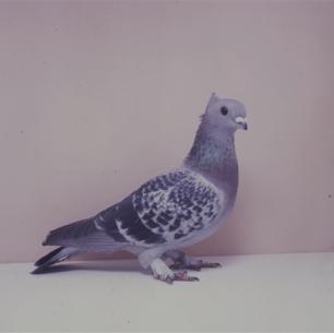 luzerner-kupferkragen-sempach-1991-87