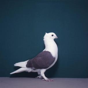 luzerner-schild-rot-zofingen-1985-500